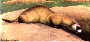 Black-footed ferret visiting a prairie dog. Louis Agassiz Fuertes